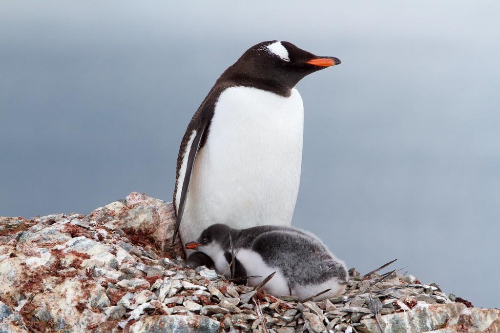 camino-pingüino